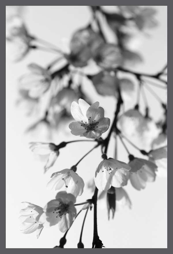 Sakura Cherry blossom in black and white