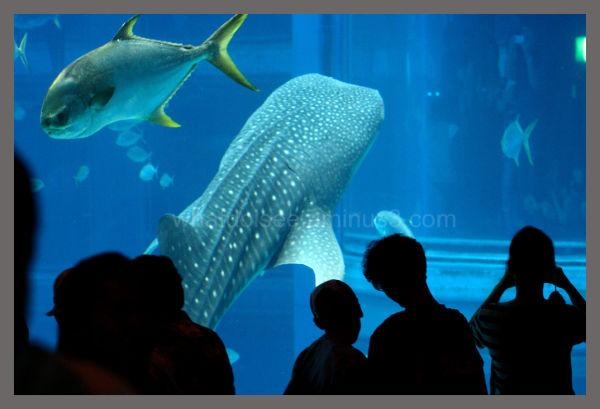 Osaka Kaiyukan Whale Shark