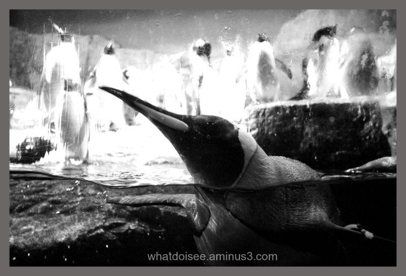 Penguins at kaiyukan