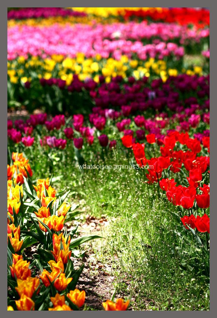 colours tulips botanical gardens