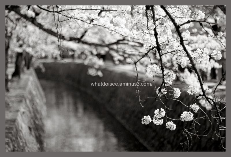 Sakura cherry blossoms kyoto