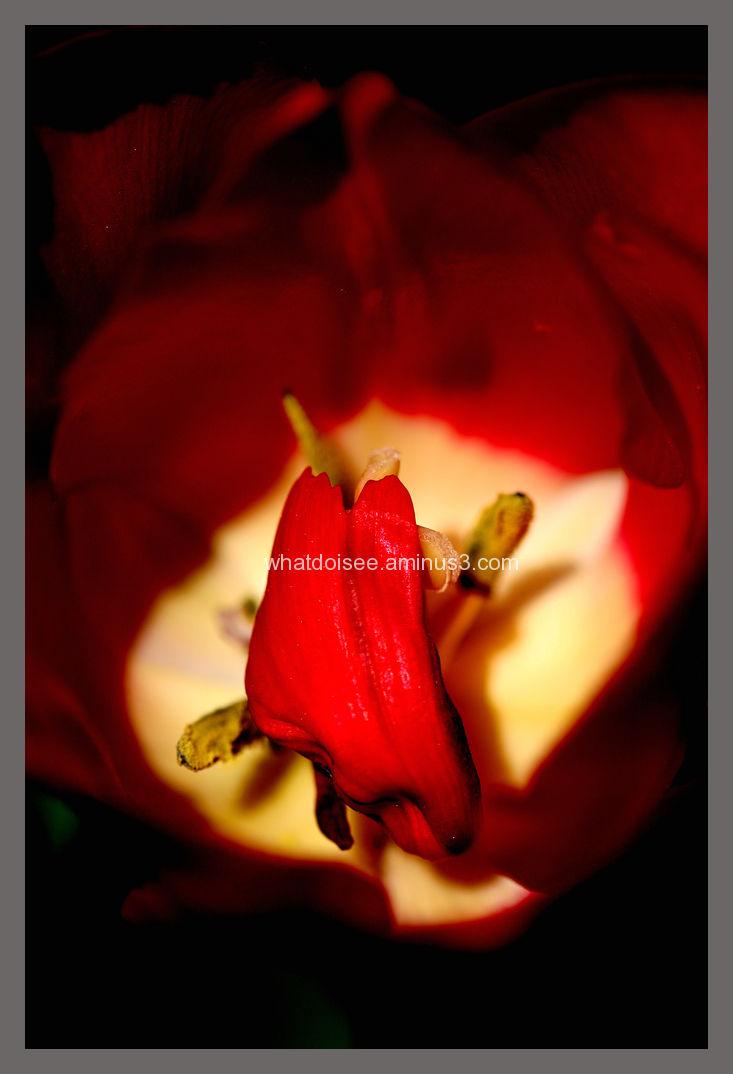 Red tulip petal