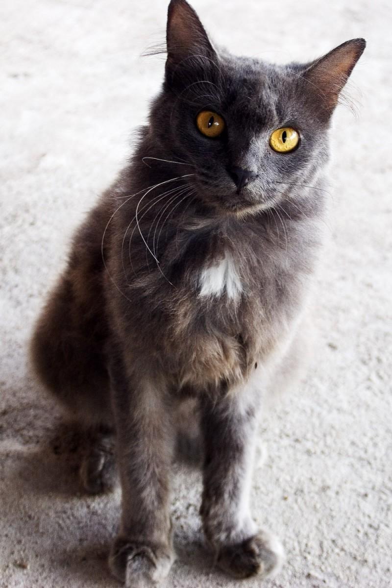 Muar Cat