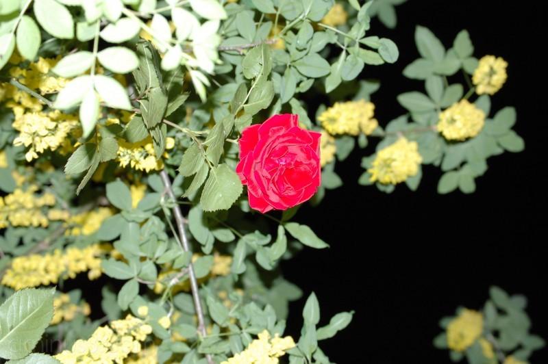 rose of the night