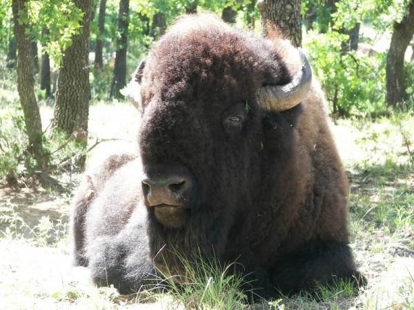 buffalo at the wichita mountains