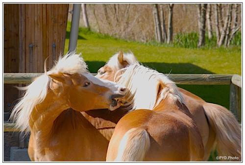kiss of horses