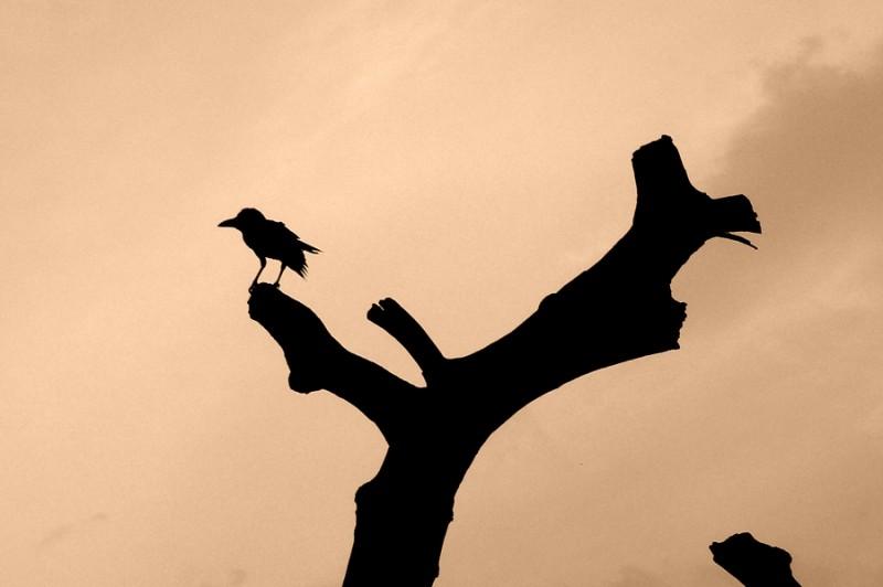 Crow!!