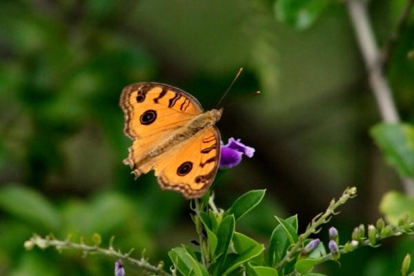 Butterfly?