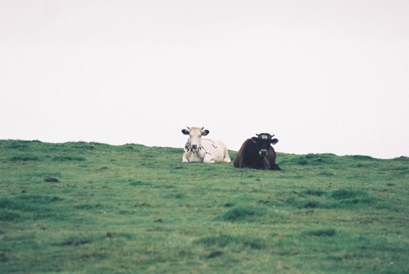 Vacas terceirenses.