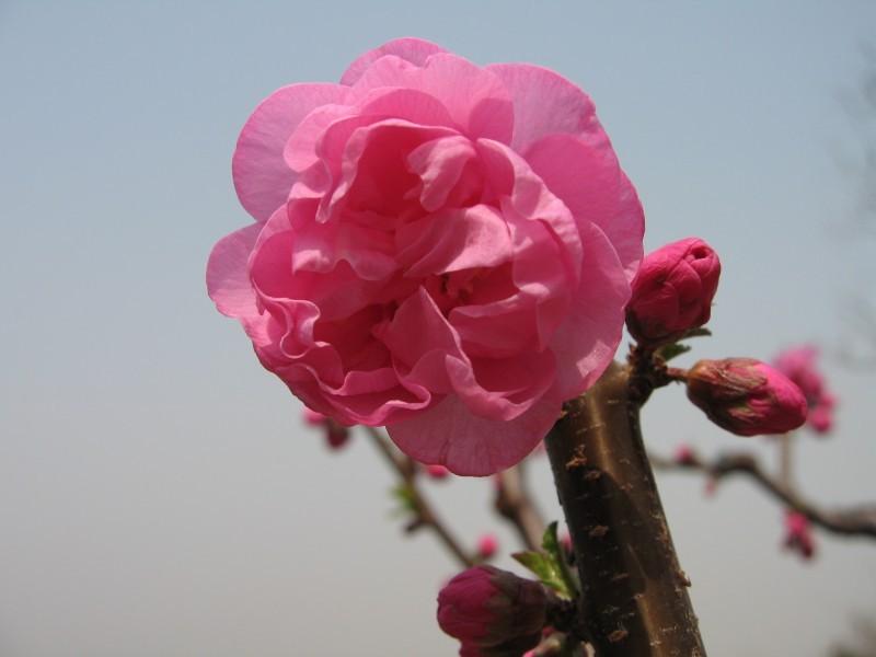 Chinese Blossom