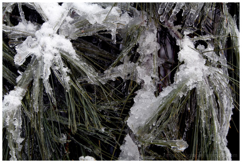 Photograph of pine needles after ice storm