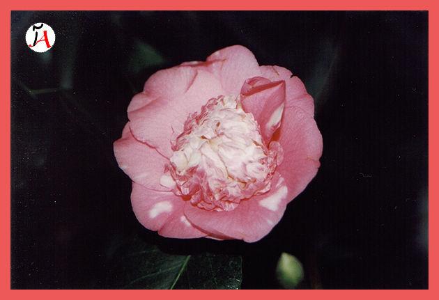 gilemard flower