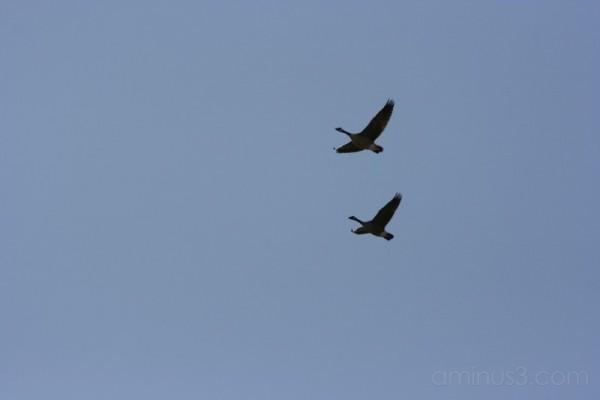 Vol de bernaches - Canada geese in flight