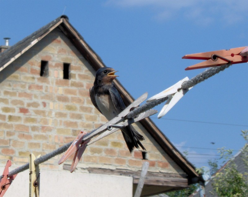 A swallow sitting on a clothes dryer