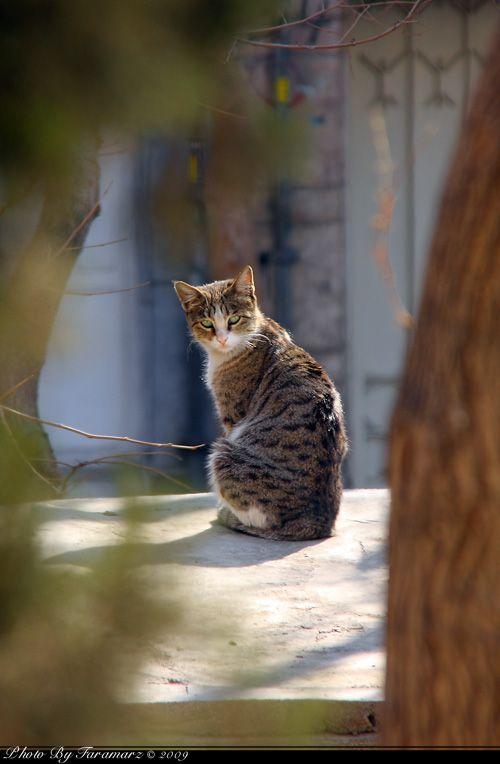 Faramarz cat