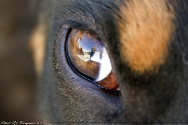 Dog eye Faramarz