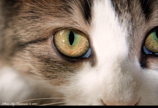 Cat animal eye