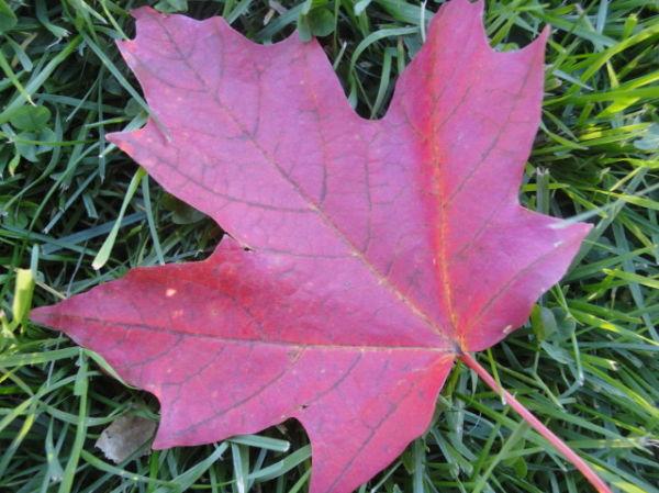 Maple tree leaf