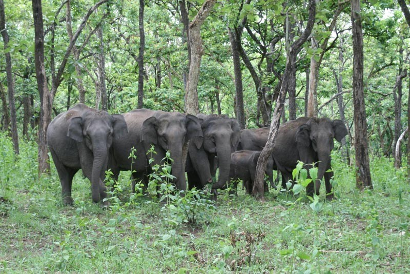 A herd of Indian elephants