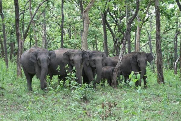 A herd of Indian elephants