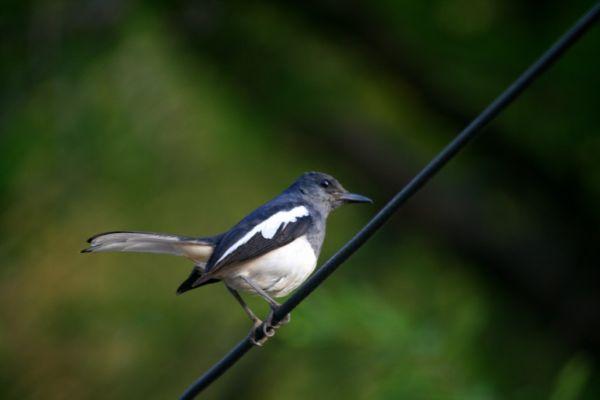 Robin Hood   Bird