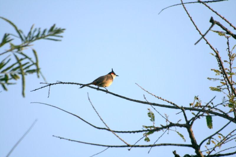 Bul Bul Bird