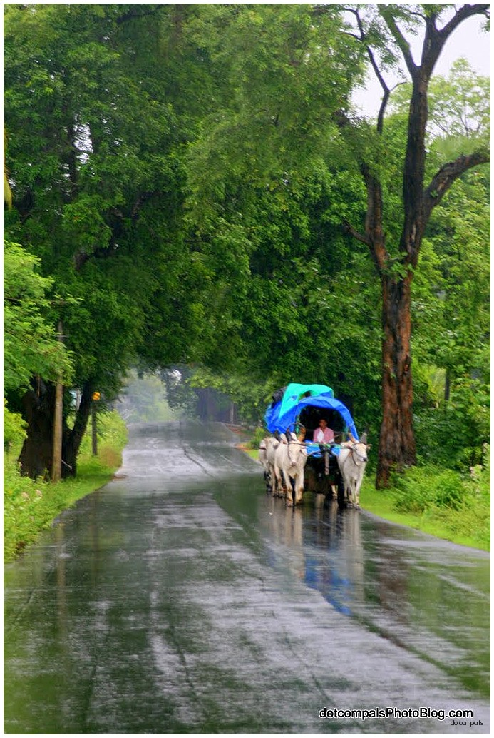 Bullock carts in the monsoon rains