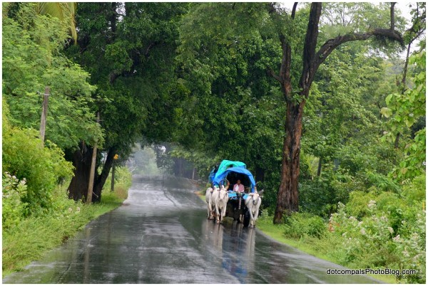 Bullock carts in the monsoon rains 2