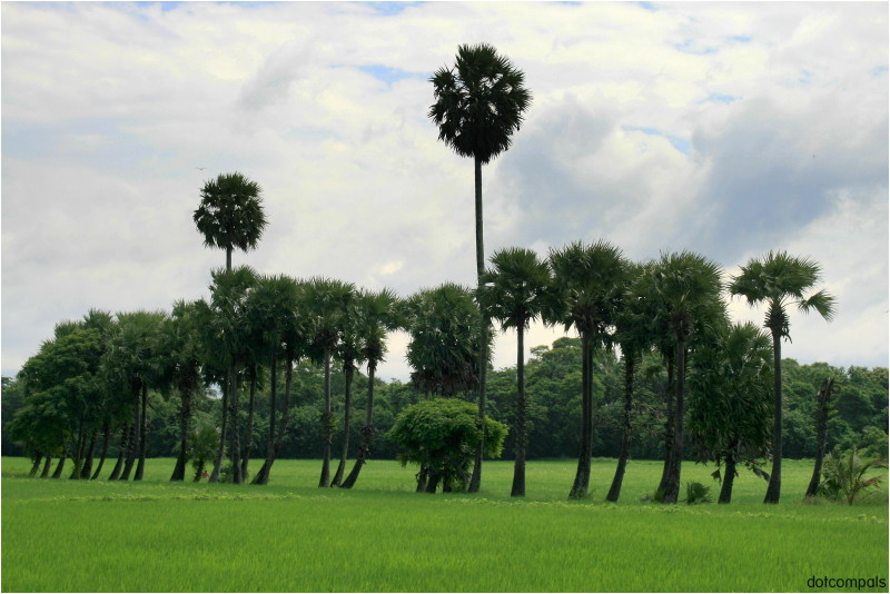 Paddy Fields of  Palakkad