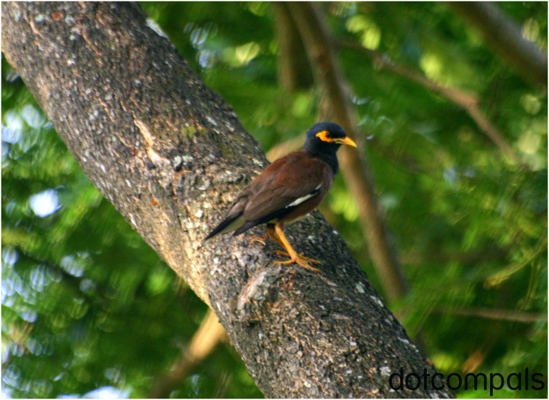 The Common Myna or Indian Myna (Acridotheres trist
