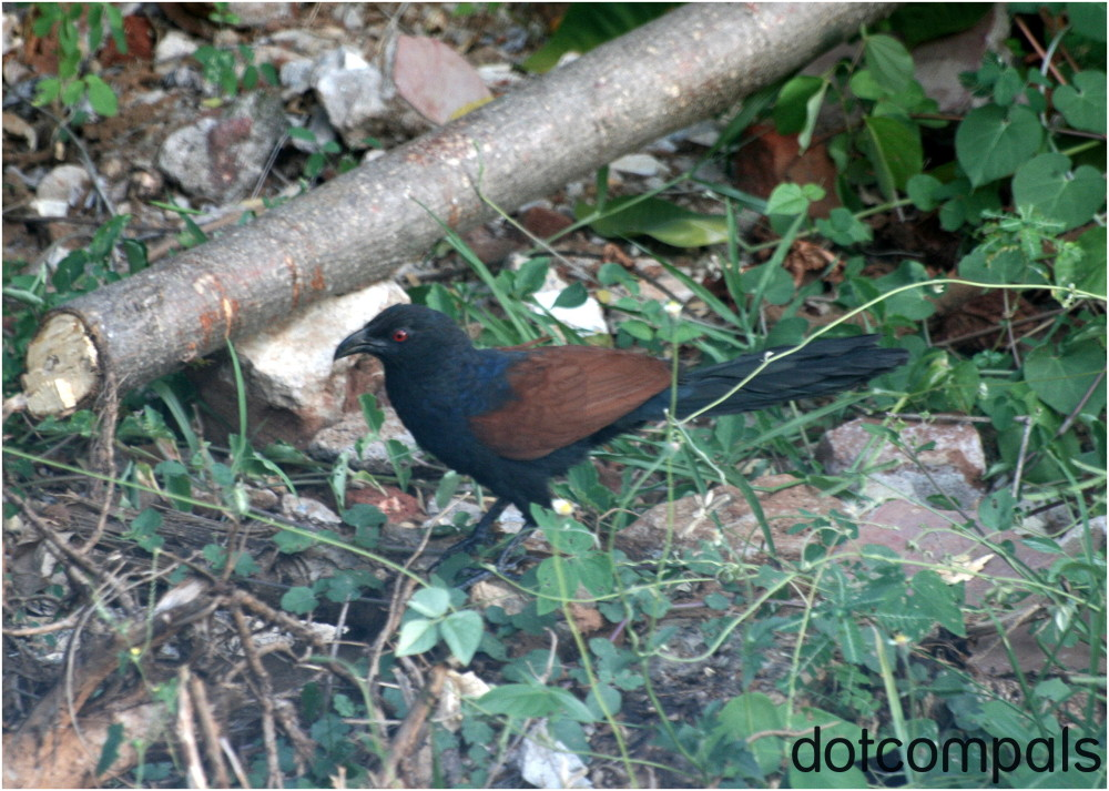 Crow pheasant   Greater Coucal  Centropus sinensis