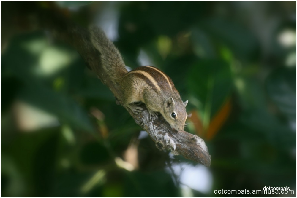 The Indian Palm Squirrel
