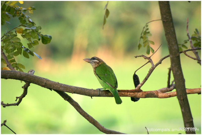 The White-cheeked Barbet or Small Green Barbet