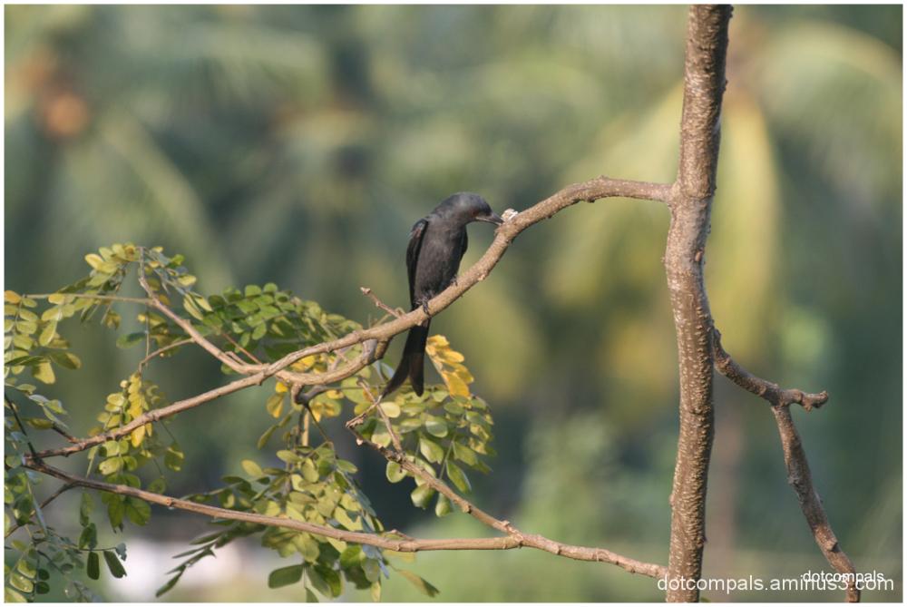 Black Drongo ആന റാഞ്ചി