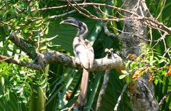 The Indian Grey Hornbill (Ocyceros birostris)