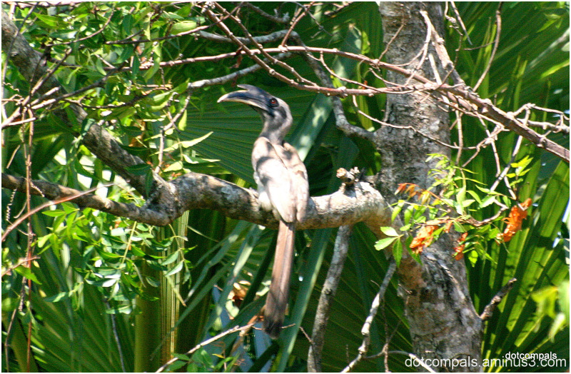 The Indian Grey Hornbill (Ocyceros birostris)