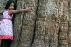 World's Largest Teak Tree