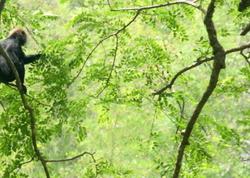Nilgiri macaque (Semnopithecus johnii)