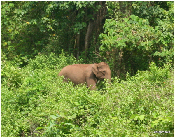 Indian Elephant at Parambikulam Tiger Reserve