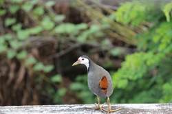 White-breasted Waterhen.