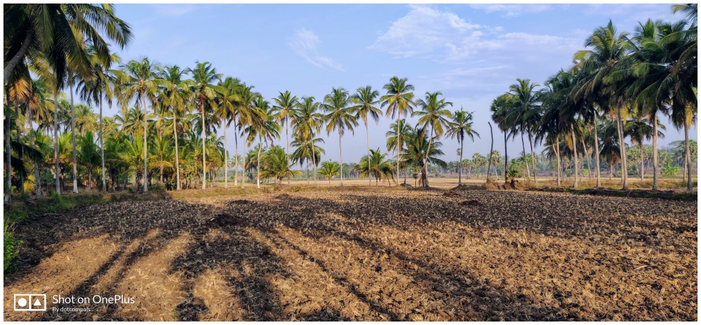 A paddy field after harvest