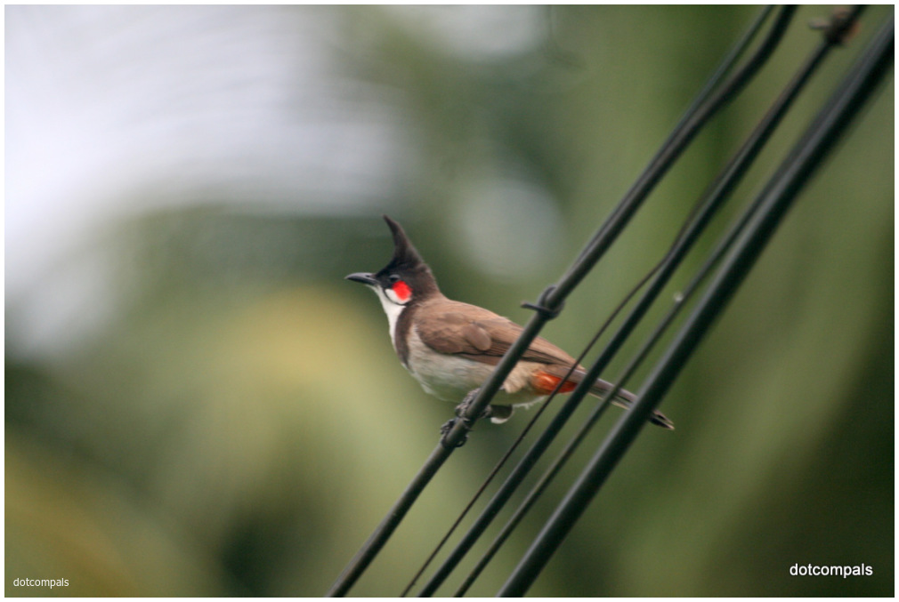 Red whiskered bulbul Kerala India