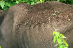 Aged wild-elephant from Muthumala Reserve