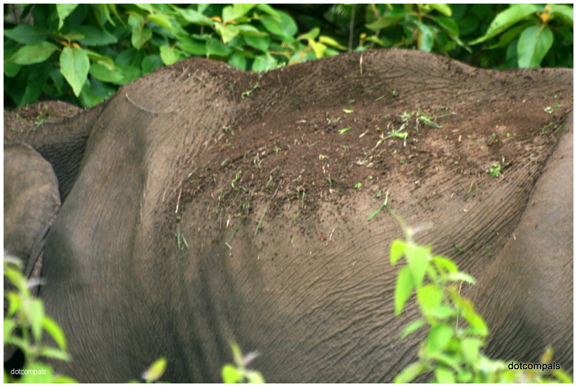 Aged wild-elephant from Muthumala Reserve