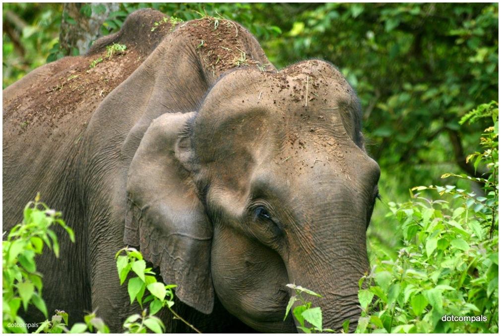 Aged wild-elephant from Muthumala Reserve 2