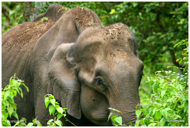 Aged wild elephant from Muthumala Reserve (2)