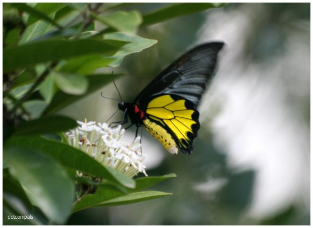 The southern birdwing   Troides minos
