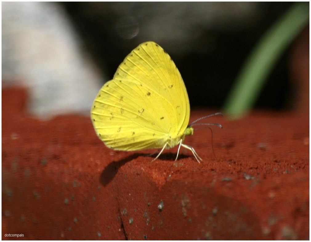 Eurema laeta laeta –Indian Spotless Grass Yellow