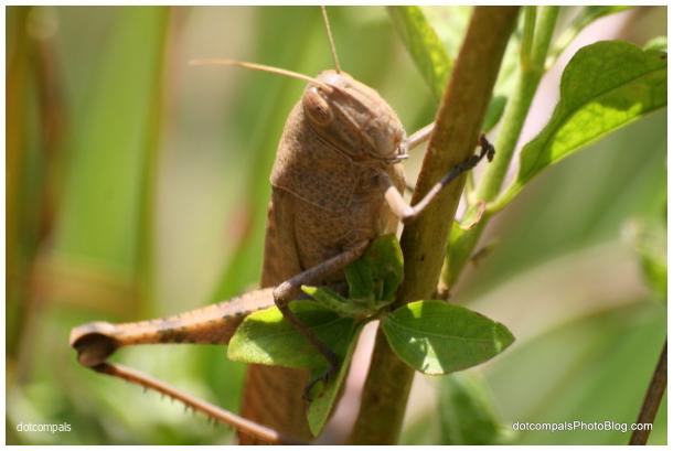 Egyptian Locust - Anacridium aegyptium