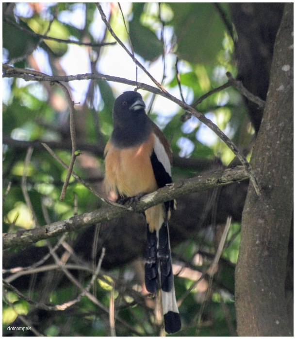 Rufous treepie   Dendrocitta vagabunda